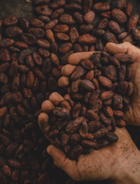Cocoa beans in a pair of hands