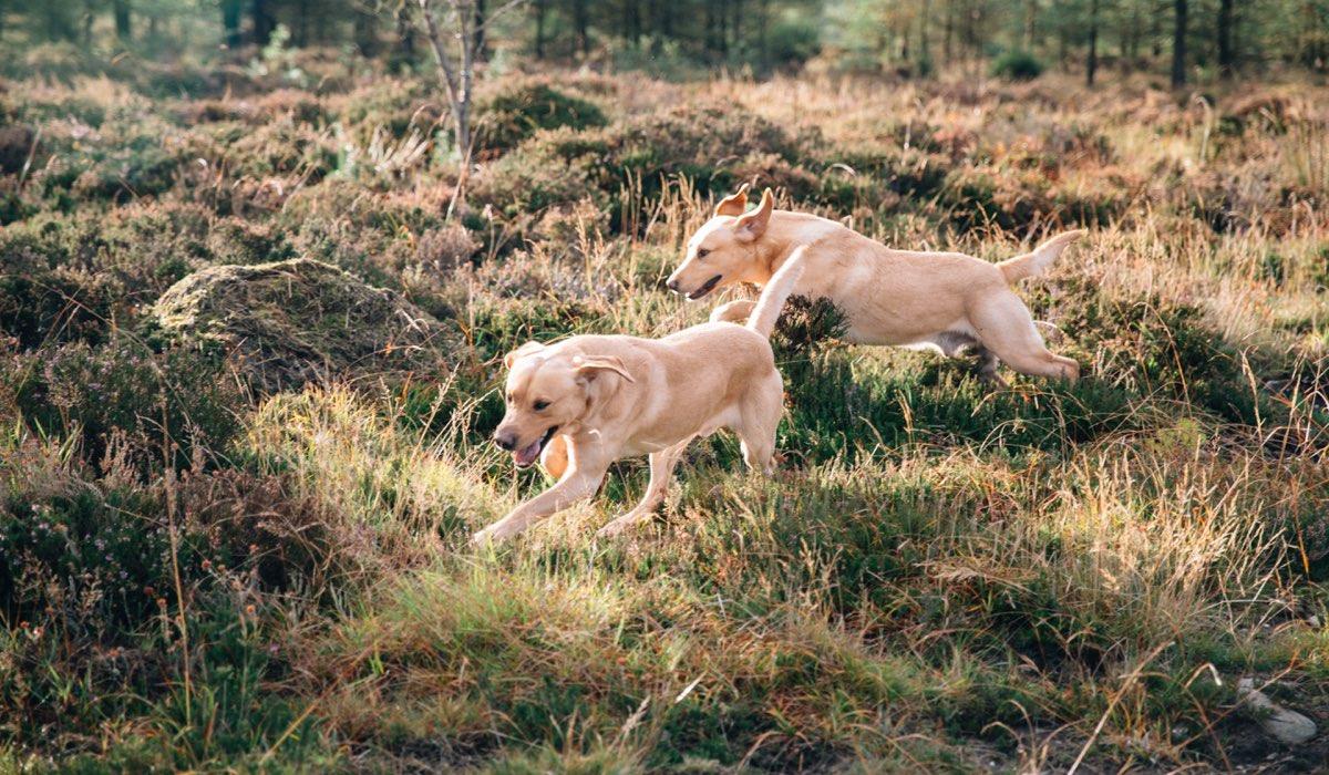 Two golden labradors running through heather