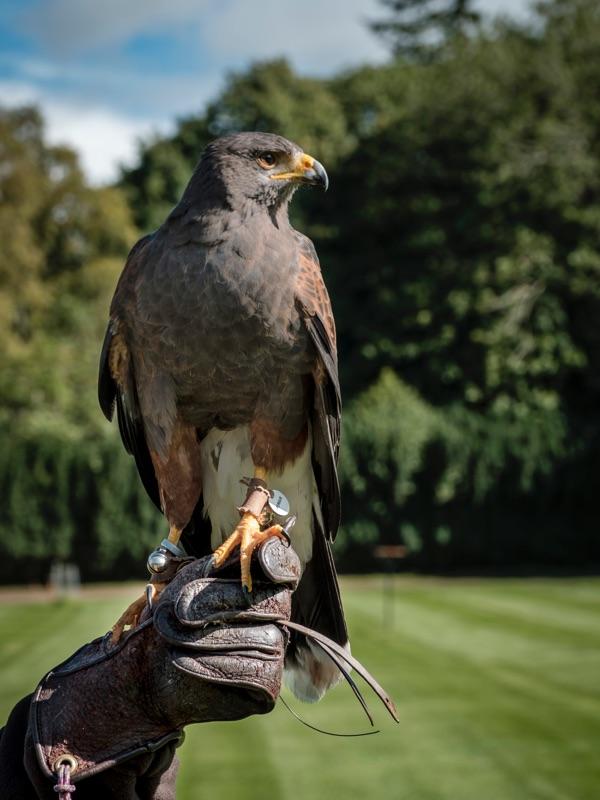 A hawk sat on a falconer's glove