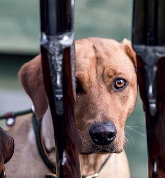 A gundog stares at the camera from behind a rack of shotguns